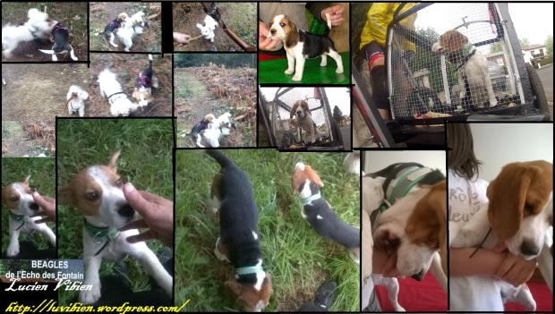 Beagles de Lucien Vibien